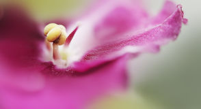 非洲雄芯花蕊紫罗兰 库存图片