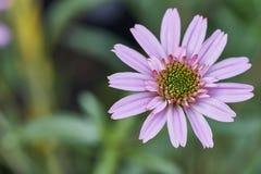 非洲雏菊在庭院在绿色背景的Osteospermum Ecklonis里 免版税库存照片