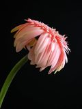 非洲雏菊粉红色 免版税库存照片