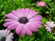 非洲雏菊花紫色 免版税库存图片