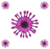 非洲雏菊设计紫色 库存图片