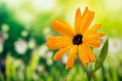 非洲雏菊, Osteospermum,海角雏菊,雏菊 免版税库存照片