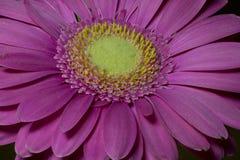 非洲雏菊` Langtrees ` 库存图片
