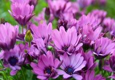 非洲雏菊ecklonis Osteospermum,海角延命菊,非洲雏菊在特内里费岛开花,加那利群岛,西班牙庭院里  库存图片