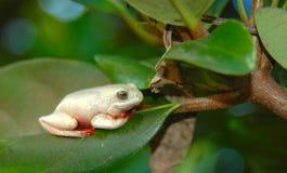 非洲青蛙结构树 库存照片