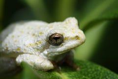 非洲青蛙被绘的芦苇南白色 库存照片