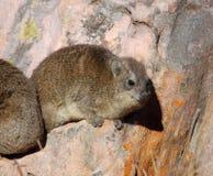 非洲非洲蹄兔岩石 库存照片