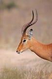 非洲飞羚南kruger的公园 图库摄影