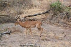 非洲飞羚 库存图片