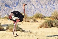 非洲驼鸟男  库存照片