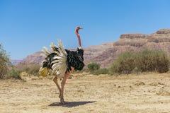 非洲驼鸟非洲鸵鸟类骆驼属男性  库存照片