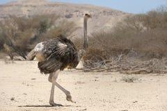 非洲驼鸟 库存图片