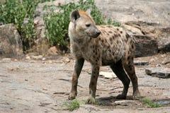非洲鬣狗serengeti 库存图片