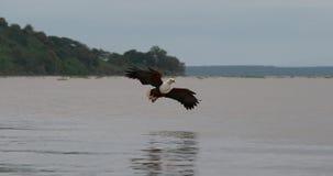 非洲鱼老鹰, haliaeetus vocifer,在飞行中成人,在爪的鱼,钓鱼在Baringo湖,肯尼亚, 股票视频