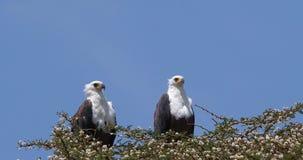 非洲鱼老鹰, haliaeetus vocifer,对在树顶部,奈瓦沙湖在肯尼亚, 股票视频