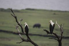 非洲鱼鹰坐一棵死的树 图库摄影