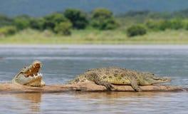 非洲鳄鱼 库存照片