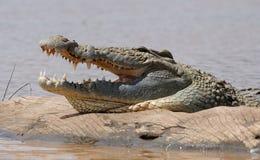 非洲鳄鱼 图库摄影