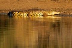 非洲鳄鱼kruger南尼罗的公园 免版税库存图片