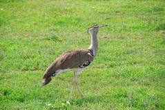 非洲鸟鸨鸟kori 免版税图库摄影