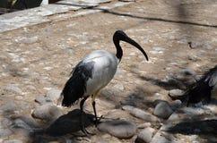 非洲鸟黑色朱鹭在笼子附近走在动物园里 免版税图库摄影