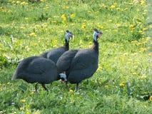 非洲鸡在草甸 免版税图库摄影