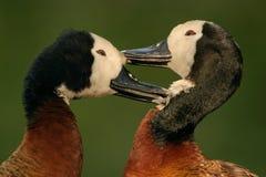 非洲鸭子面对白色 库存图片