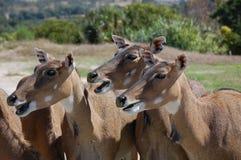 非洲鹿 图库摄影