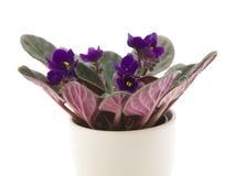 非洲黑暗的紫色紫罗兰 库存照片