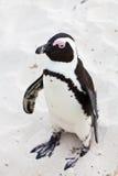 非洲黑色关闭有脚的企鹅 免版税图库摄影