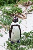 非洲黑色关闭有脚的企鹅 库存照片