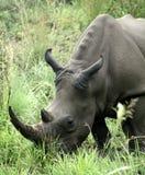 非洲黑色犀牛 库存照片