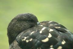 非洲黑鸭 库存图片