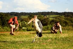 非洲,坦桑尼亚, Ngorongoro火山口- 2016年3月7日:游人在Ngorongoro国家公园为狂放的marabu照相 免版税图库摄影