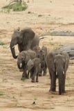 非洲africana大象非洲象属 免版税库存图片