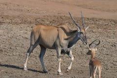 非洲eland走 免版税库存图片