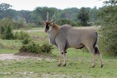 非洲eland 免版税图库摄影