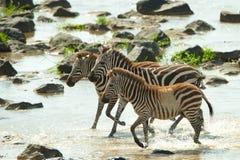 非洲equids三匹斑马 图库摄影