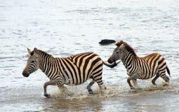 非洲equids二匹斑马 库存图片