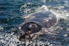 非洲hermanus正确的南南部的鲸鱼 库存照片