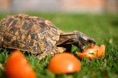 非洲hingeback草龟 免版税图库摄影