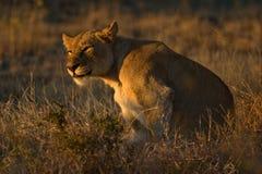 非洲lionness 库存照片