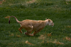 非洲lionness 免版税库存照片