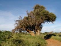 非洲mopipi结构树 库存照片
