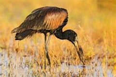 非洲openbill, Anastomus lamelligerus,鹳画象从博茨瓦纳,非洲的 有好的票据的头 黑鸟以开放 通配 库存照片