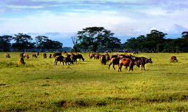 非洲savana角马 免版税库存照片