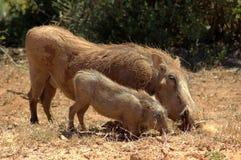 非洲warthogs 免版税库存图片