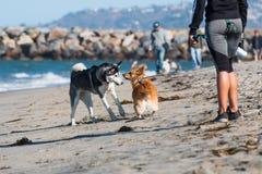 非裔美国人的妇女观看小狗和爱斯基摩在狗海滩 库存照片