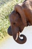 -非洲人下来布什大象 免版税库存照片