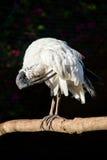 非洲人修饰它的羽毛的神圣的朱鹭 免版税库存照片